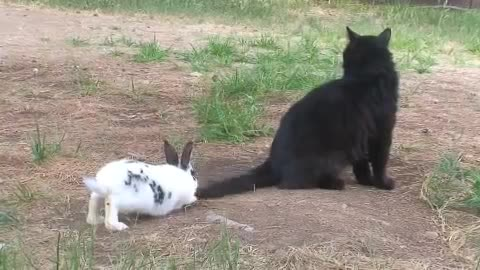 Funny rabbit chases a cat