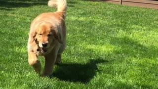 Golden Retriever Finds a Great Way to Cool Off