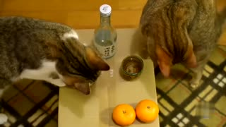 Cat dipping paw in water and drink!