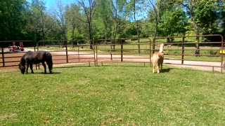 Mini-Horse Lil-Bit Sees Goats for the First Time