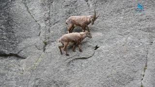 Mountain Goats Climbing Like a Boss