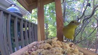 Summer tanager with some suet