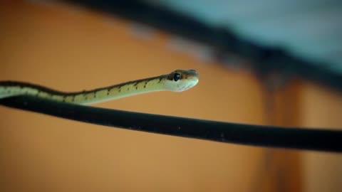 Bamboo Viper snake