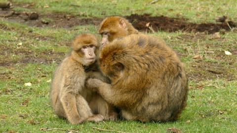 Monkey Mom Clean her baby