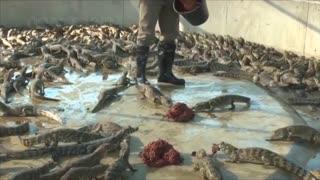 Learn Crocodile Meat Processing