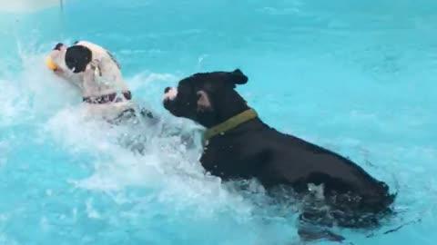 Boxer puppies new swimming technique