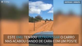 Emu dá de cara com poste e cai durante corrida