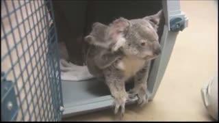 Cutest baby Koala