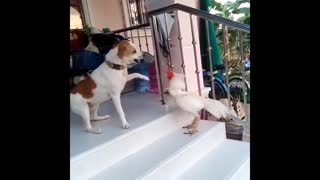 A dog and roaster fighting