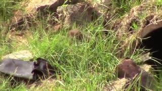 Farret fight against rabbits - Lovely Animal