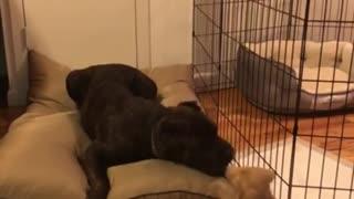 Playful puppy adorably irritates much older dog