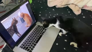 Amazing Reaction of Black Beauty on Cats Yelling Video.