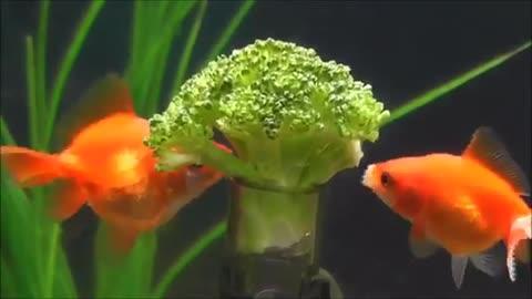 Goldfish Eating Broccoli