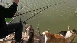 Cats wait while man fishes for them