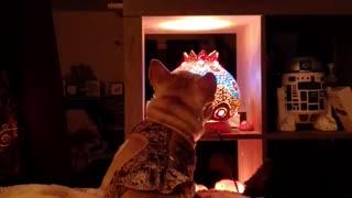 French Bulldog watches TV