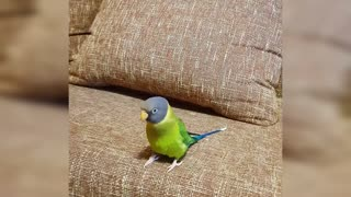 Parrot shows his owner how to whistle song properly