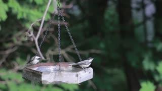 Birds Drink Water From Hanged Plate In Garden