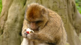 A Monkey Is Eating An Apple