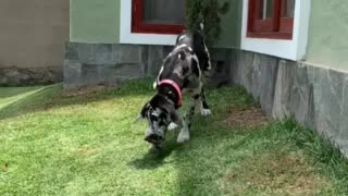 Just a cute Great Dane puppy