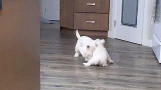 Relentless Westie Puppy