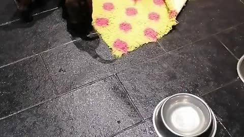 Puppies tackle a giant anaconda
