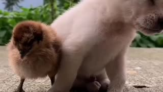 puppy falling asleep while standing next to chicken
