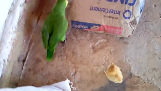 The chick fighting with the parrot