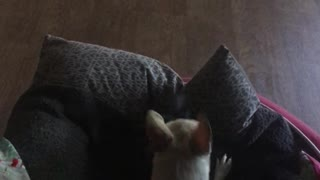 Puppies fighting over pillow and blanket.