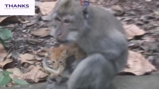 Funny Monkey Kiss with Cat