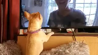 Bulldog watches other dogs on TV