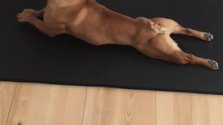 French Bulldog Really Loves To Do Yoga