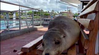 Sleeping sea lions completely take over the benches in Galapagos Islands