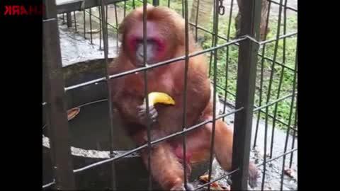 Fastest eating Orangutan