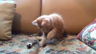 Little Kitten Cat Playing His Toy Mouse