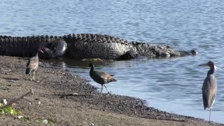 Alligator walks to the pond