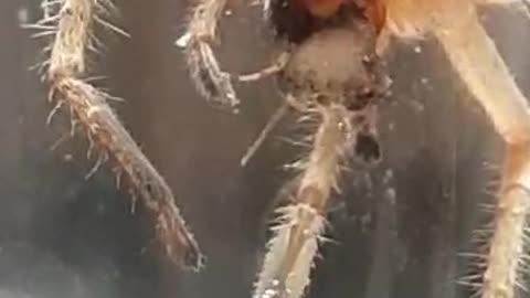 видео про большого паука