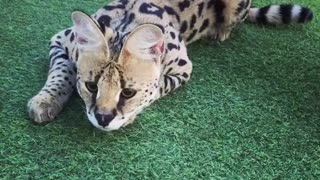 Playful Bengal cat has fun in his personal playground