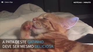 Gato se delicia com a própria pata