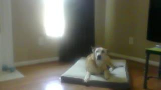 Carolina Dingo Dog Birthday Song 9 Years Old