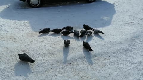 Good pigeons peck food in the snow.