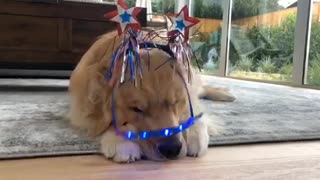 Golden Retriever not thrilled with super cute outfit