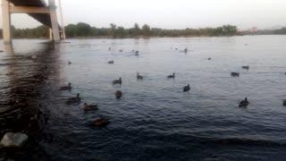 Ducks on