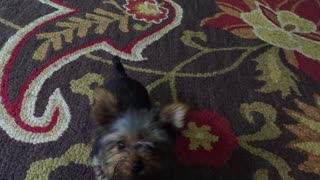 The Cutest Dog In The World - Grace the Yorkshire Terrier