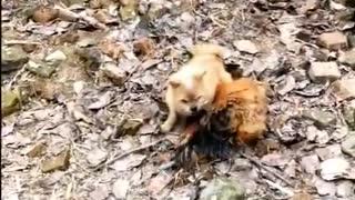 Funny Dog Fight Chicken Videos
