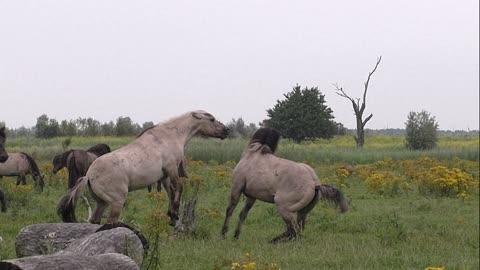 Super slowmotion of two fighting wild konik horses