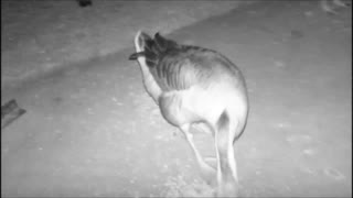Night Vision Camera with the Geese