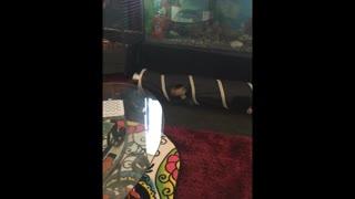 Ferret Baby Playtime