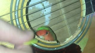 Lovebird Enjoys Guitar Playing from the Inside