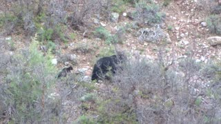 Black Bear and Cubs Spotted in Colorado