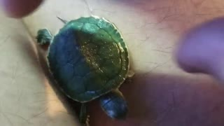 Playing with a little tiny turtle